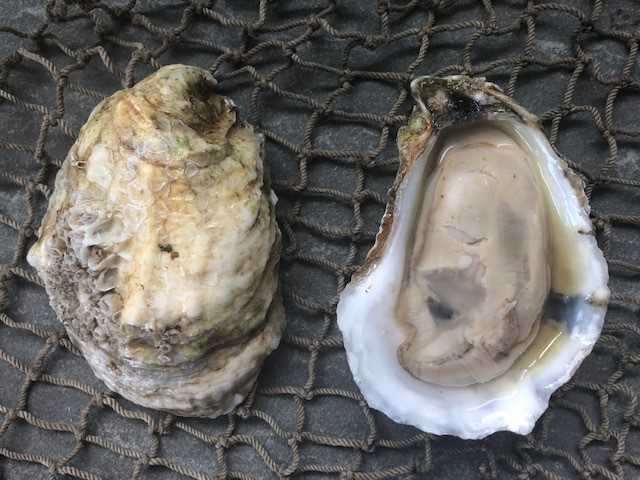 Cotuit Oysters 25ct