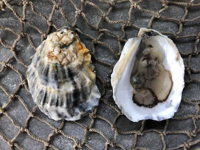 Paramour Oysters 25ct