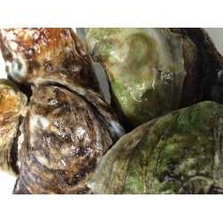 Atlantic Oyster Variety Pack (5 x 12ct)